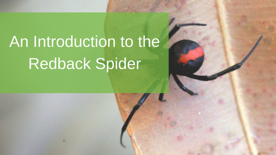 An Introduction to the Redback Spider