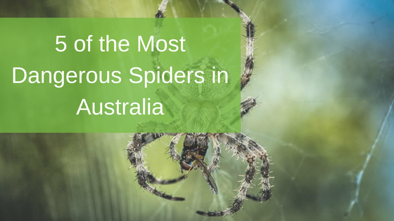 5 of the Most Dangerous Spiders in Australia