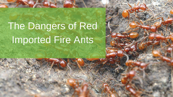 The Dangers of Red Imported Fire Ants