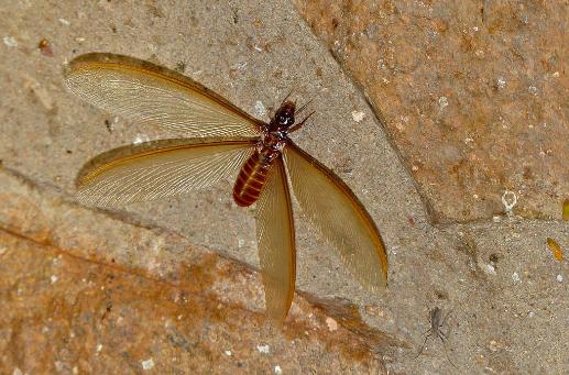 winged termite