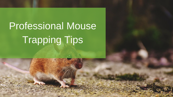 Professional Mouse Trapping Tips
