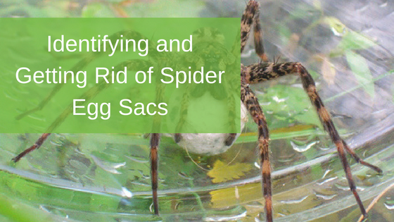 Identifying and Getting Rid of Spider Egg Sacs