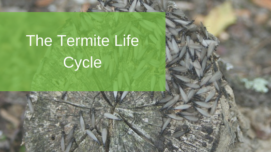 The Termite Life Cycle