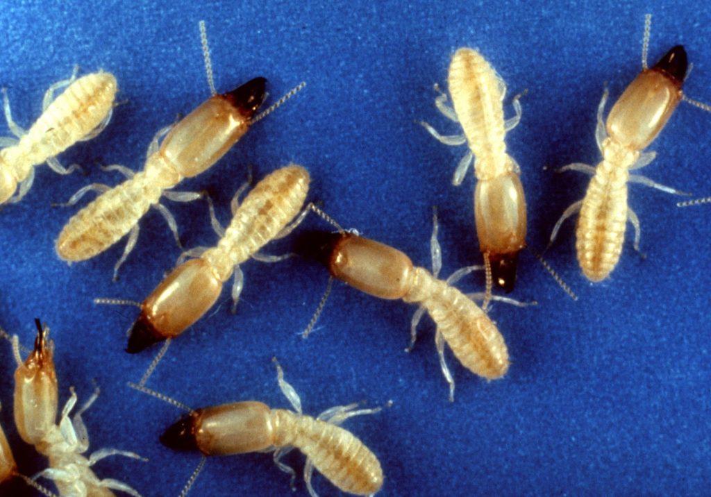 Subterranean worker termites