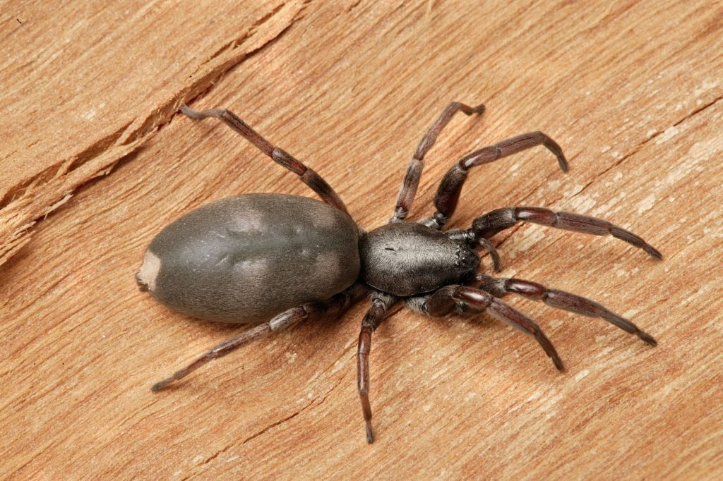White-tailed Spiders