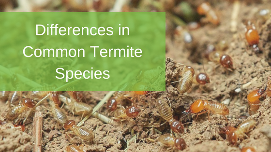 Differences in Common Termite Species