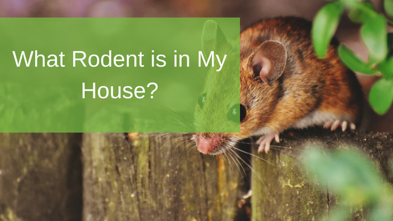 What Rodent is in My House?