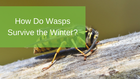 How Do Wasps Survive the Winter?