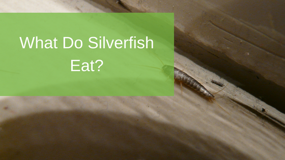 What Do Silverfish Eat?