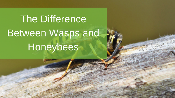 The Differences Between Wasps and Honeybees