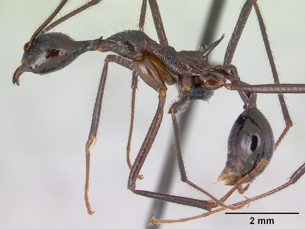 funnel ant