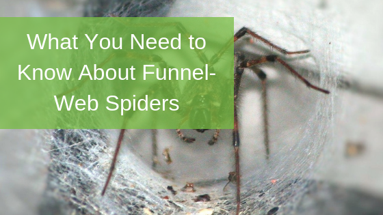 What You Need to Know About Funnel-Web Spiders