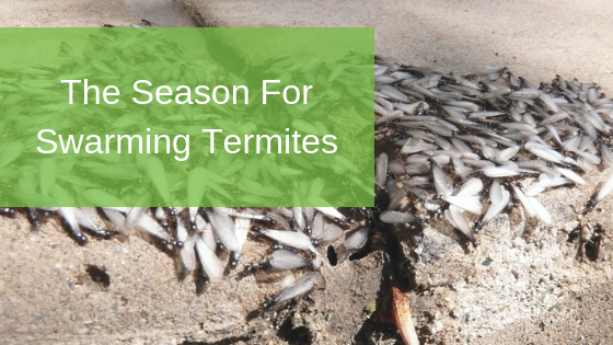 The Season For Swarming Termites