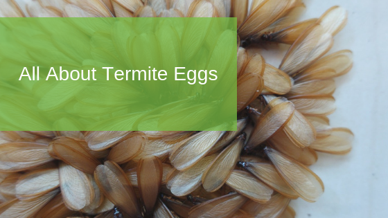 All About Termite Eggs