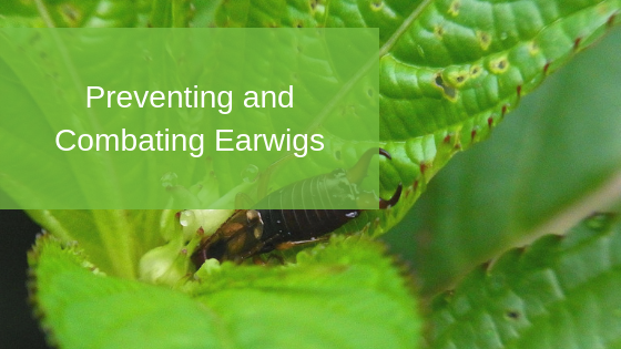 Preventing and Combating Earwigs