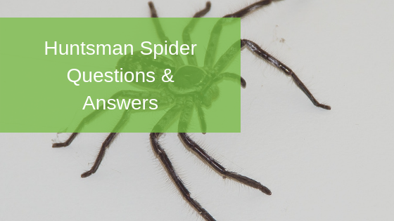 Huntsman Spider Questions & Answers