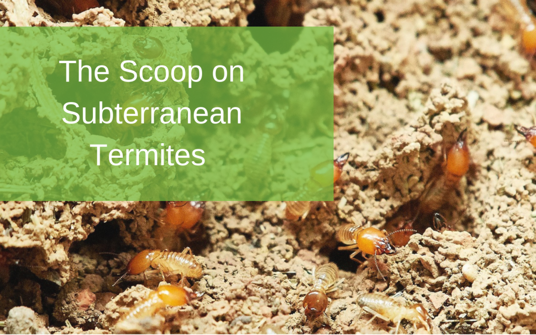 The Scoop on Subterranean Termites