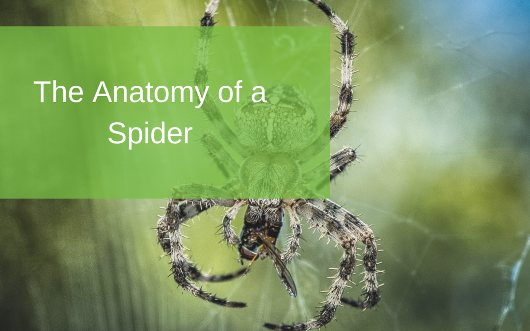The Anatomy of a Spider
