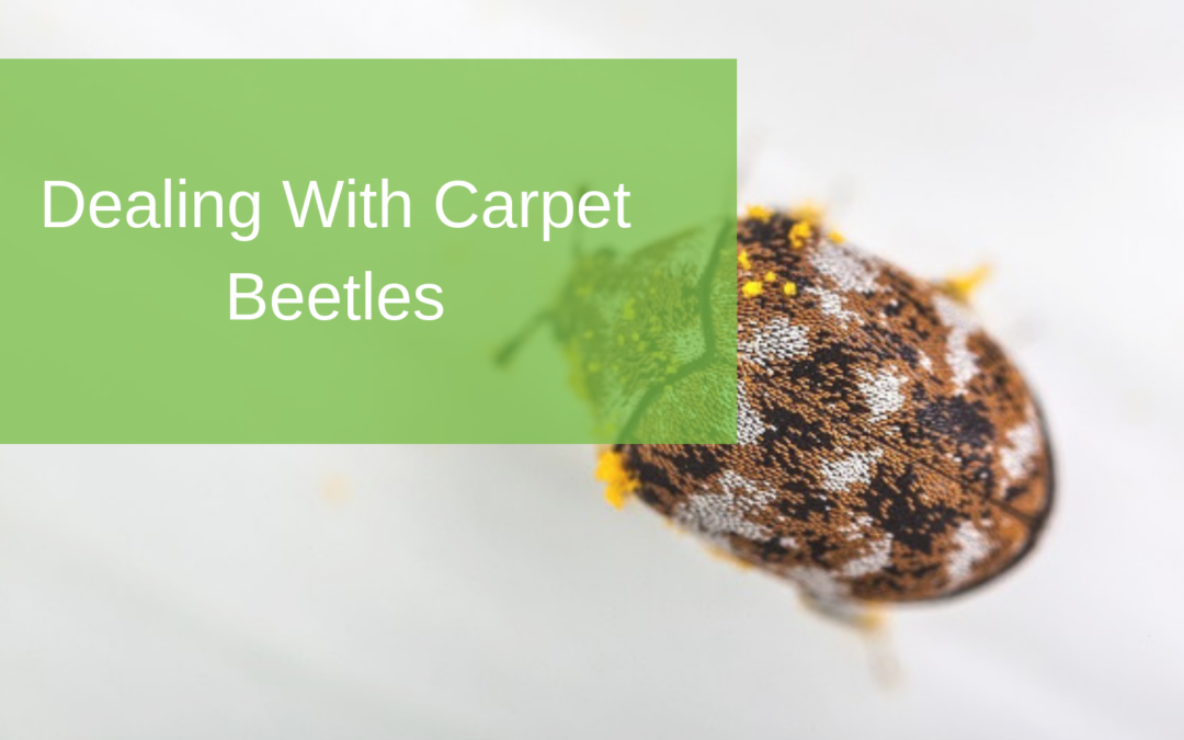 Dealing With Carpet Beetles