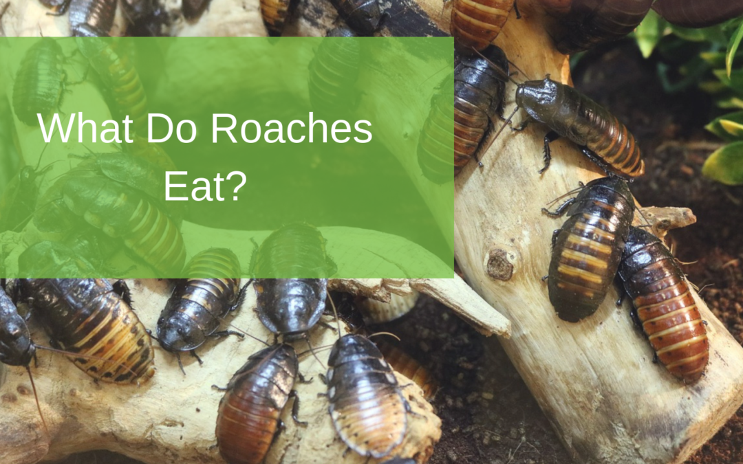 What Do Roaches Eat?