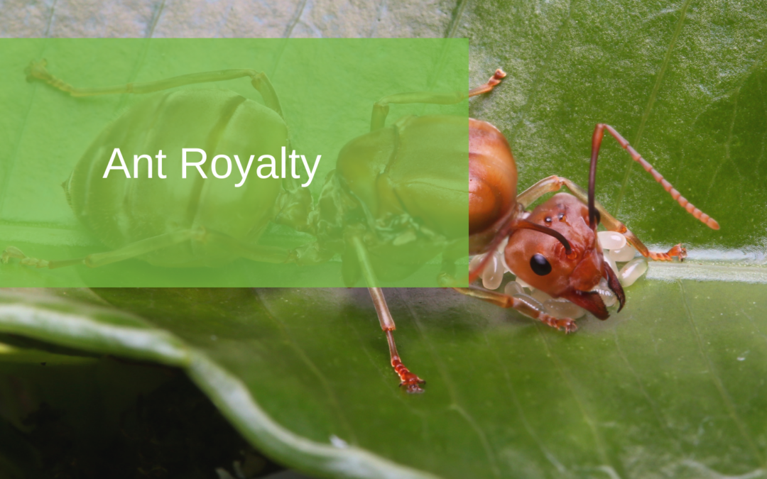 Ant Royalty