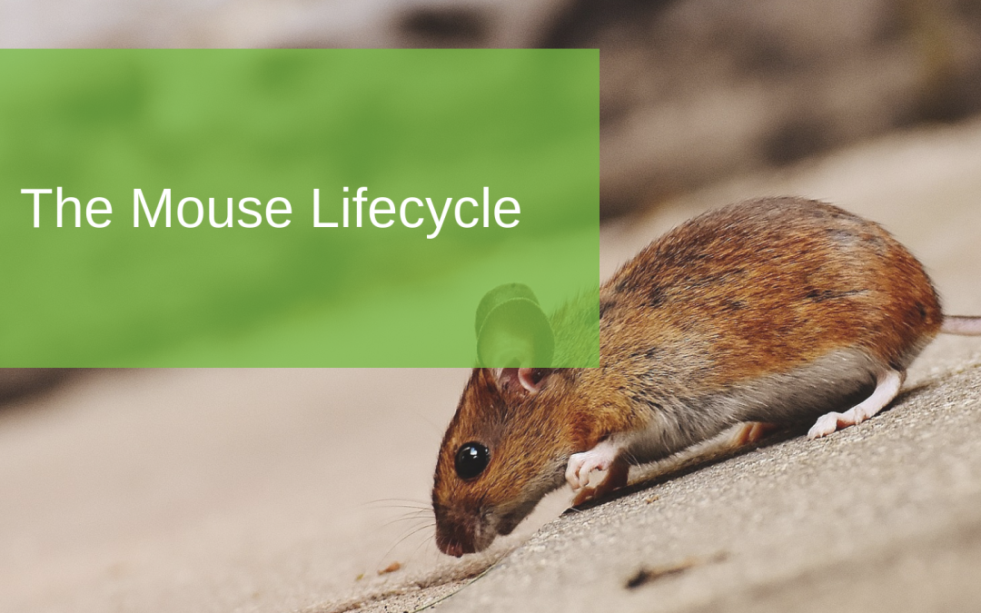 The Mouse Lifecycle