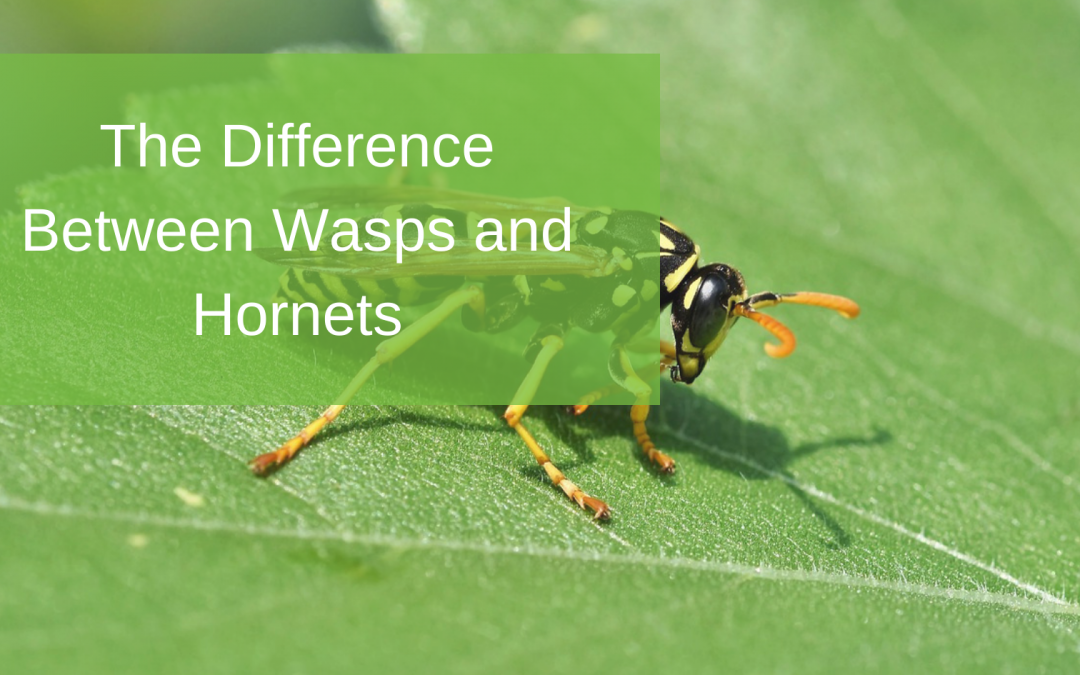 The Difference Between Wasps and Hornets