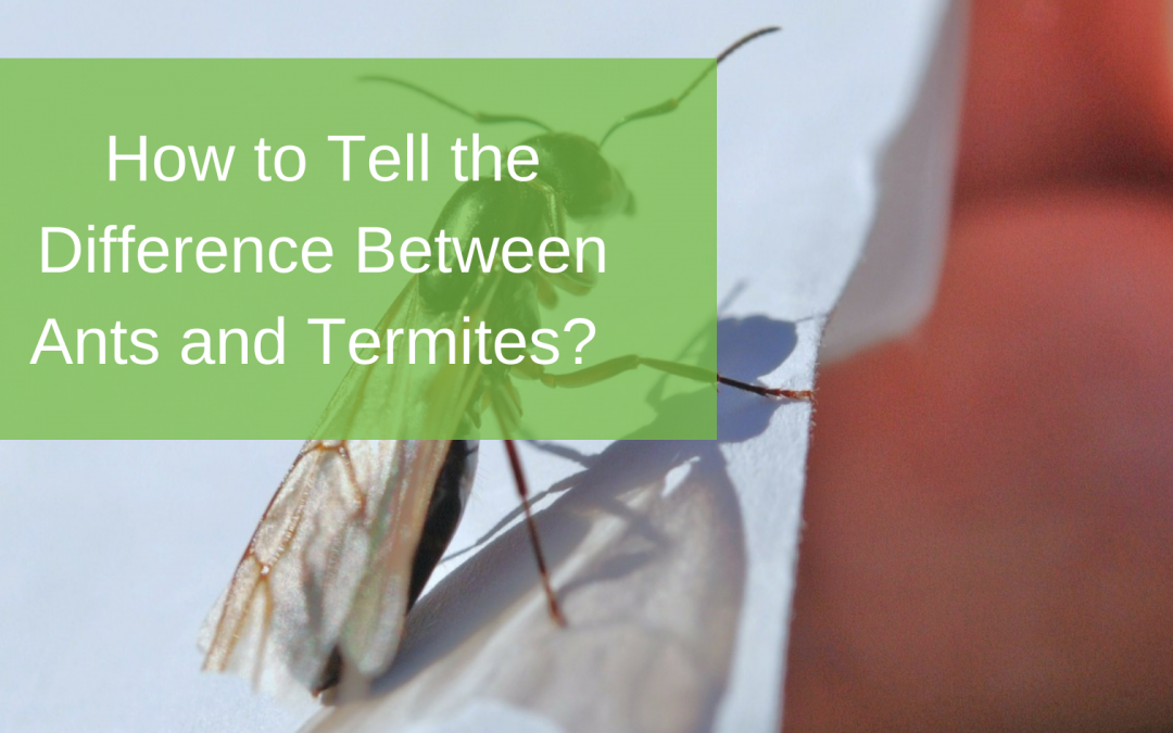 How to Tell the Difference Between Ants and Termites?