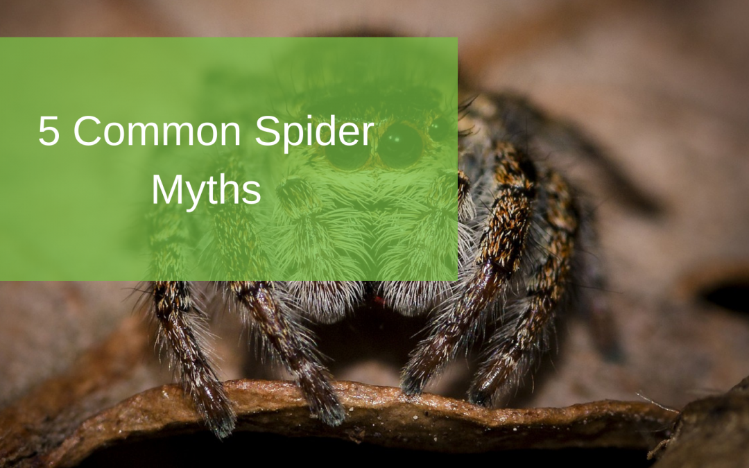 5 Common Spider Myths