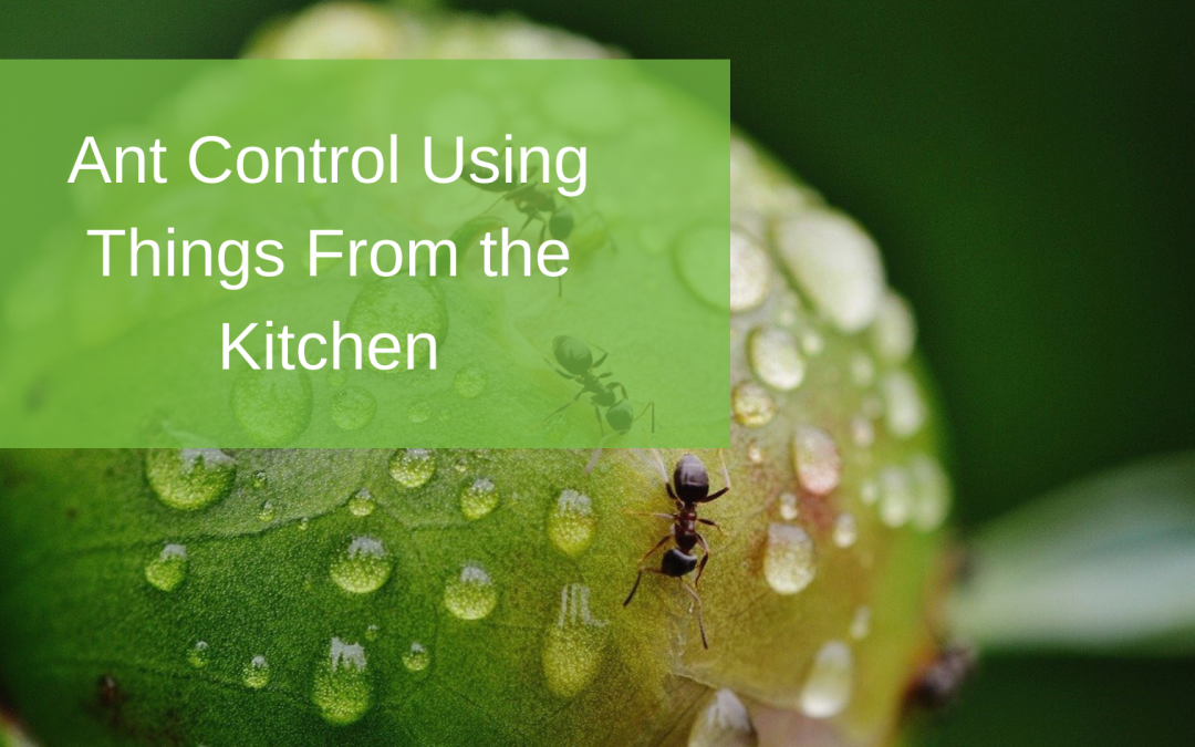 Ant Control Using Things From the Kitchen