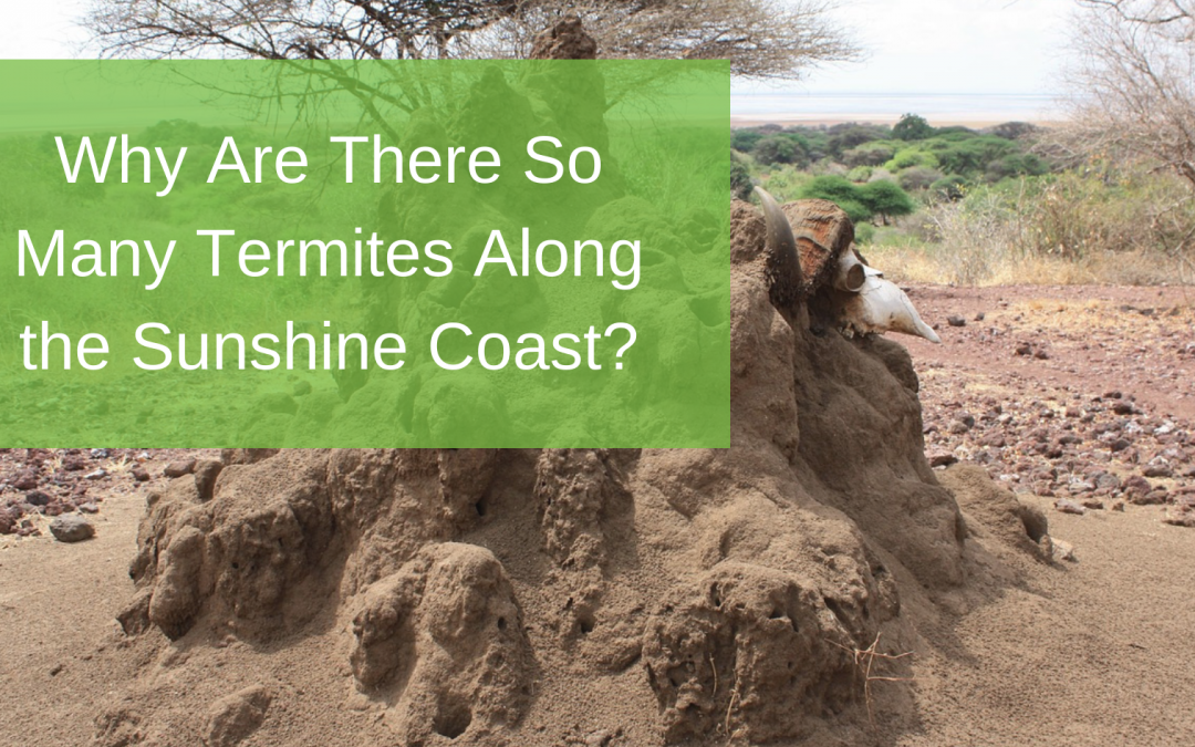 Why Are There So Many Termites Along the Sunshine Coast?