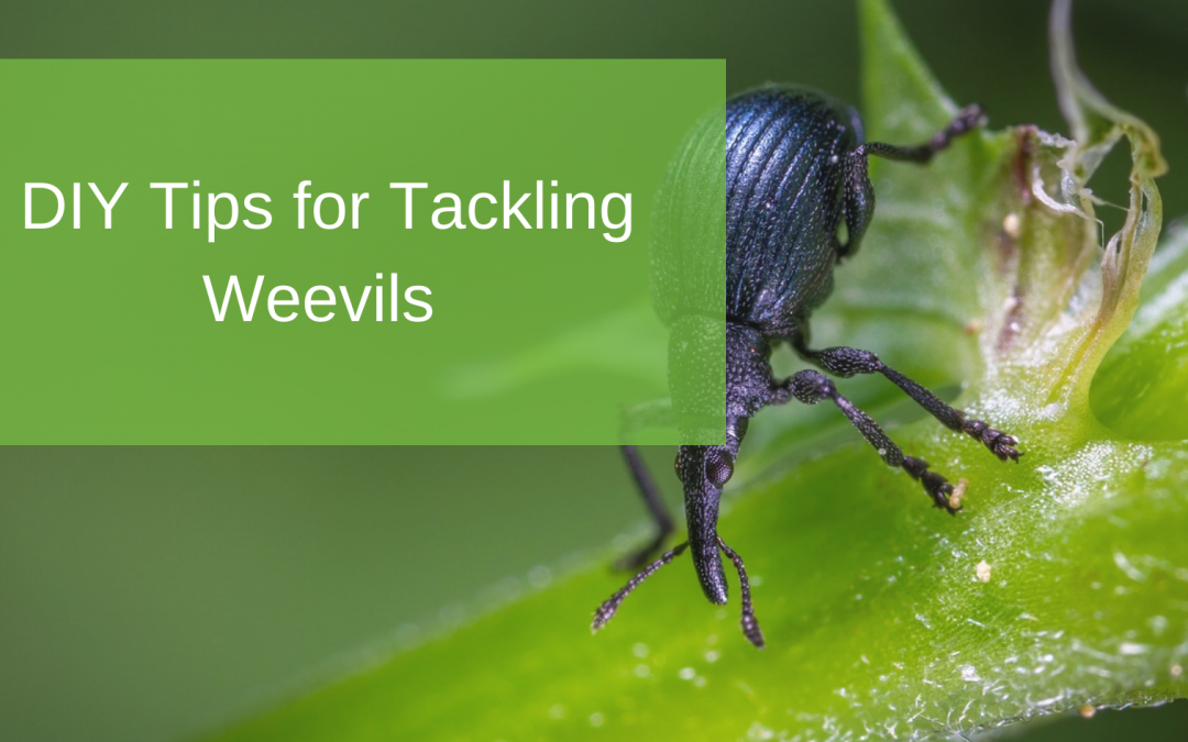 DIY Tips for Tackling Weevils