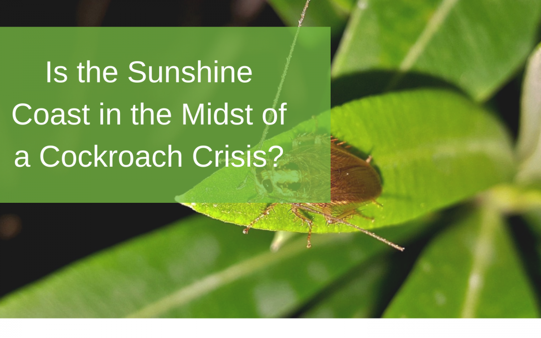 Is the Sunshine Coast in the Midst of a Cockroach Crisis?