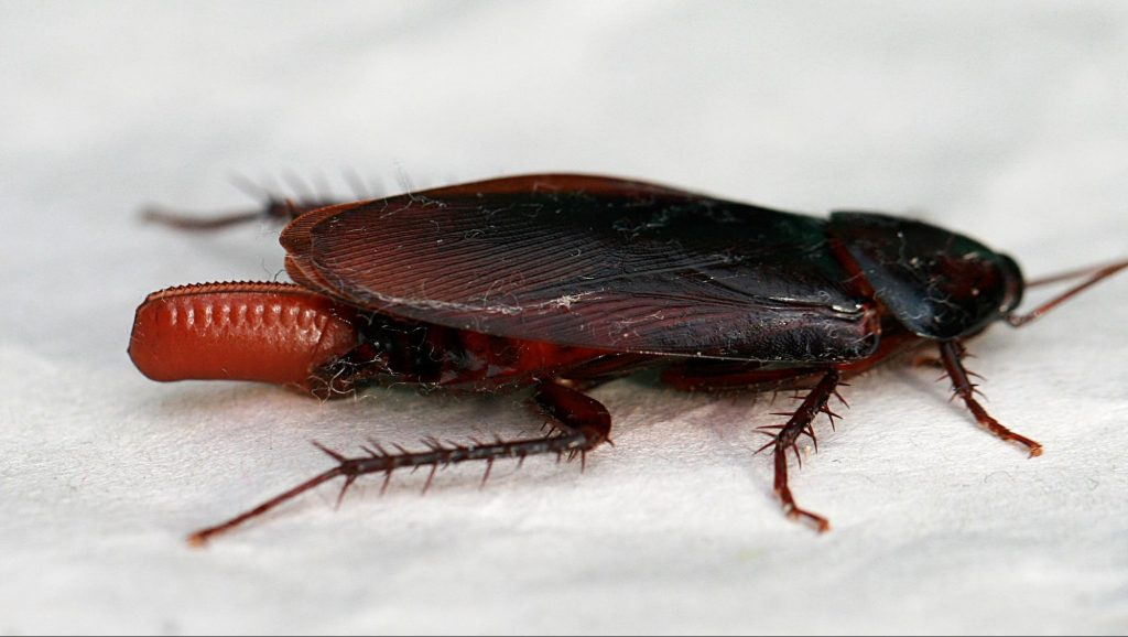 cockroach carrying its egg