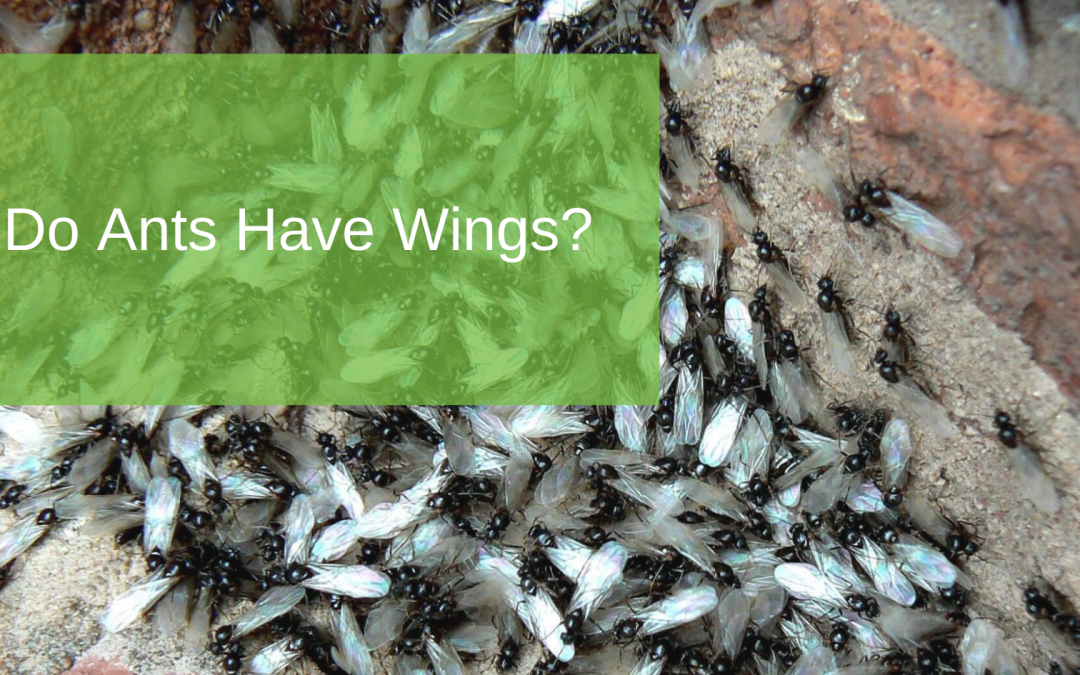 Do Ants Have Wings?