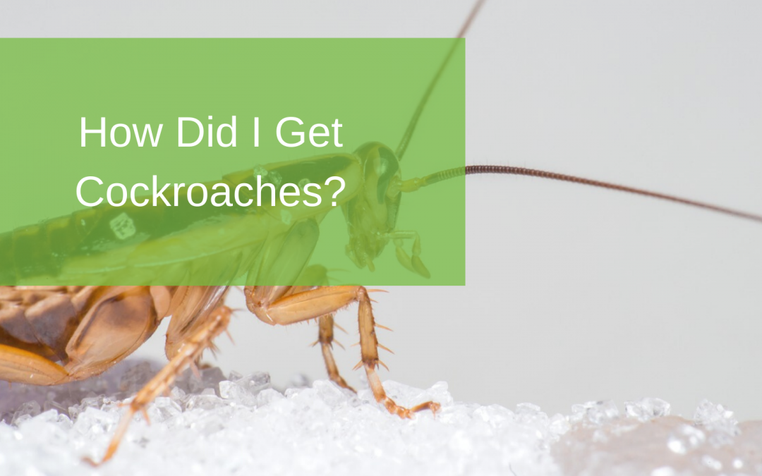 How Did I Get Cockroaches?