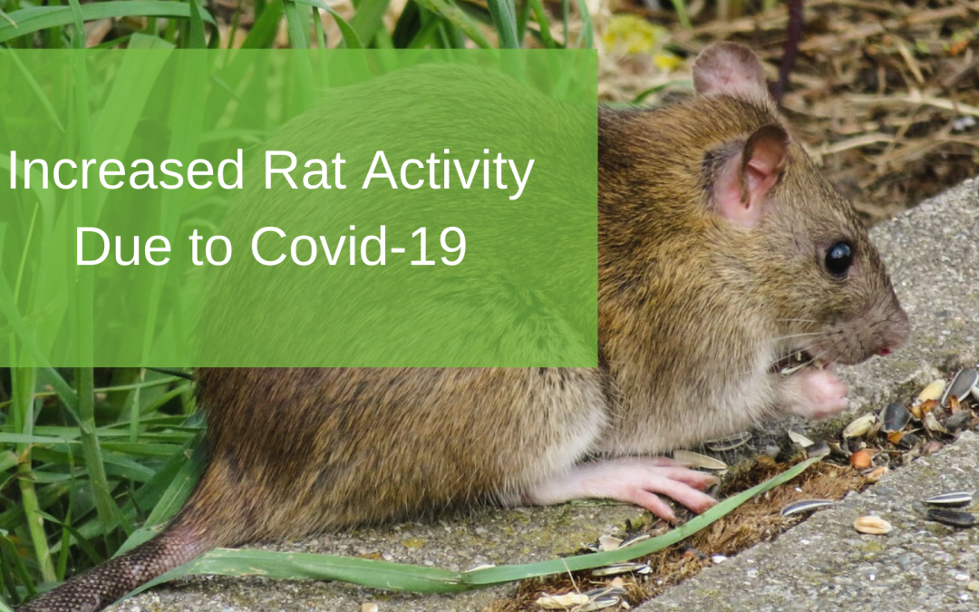 Increased Rat Activity Due to Covid-19