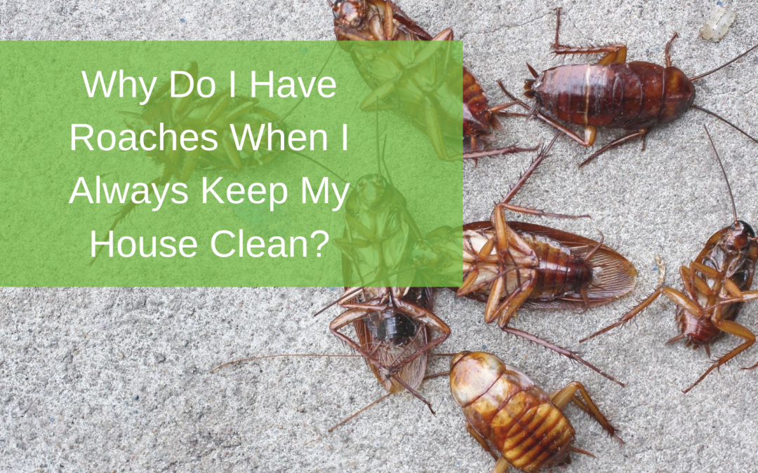 Why Do I Have Roaches When I Always Keep My House Clean?