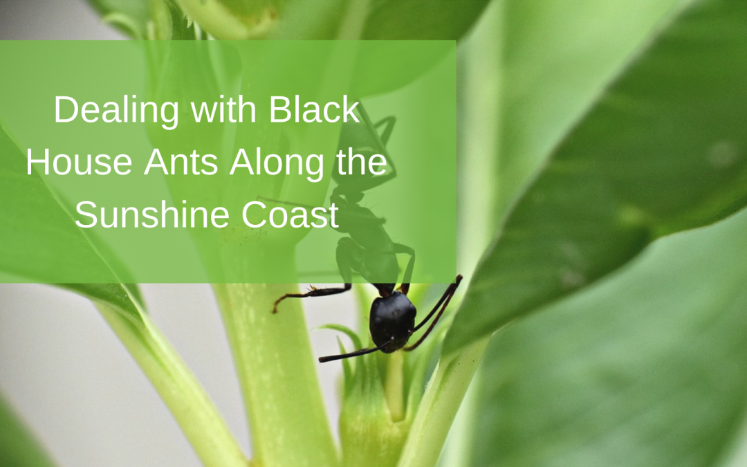 Dealing with Black House Ants Along the Sunshine Coast