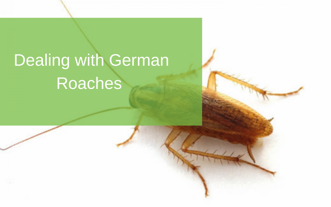 Dealing with German Roaches