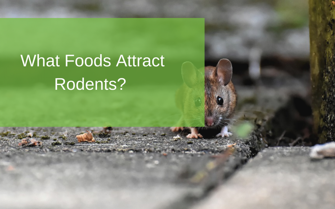 What Foods Attract Rodents?
