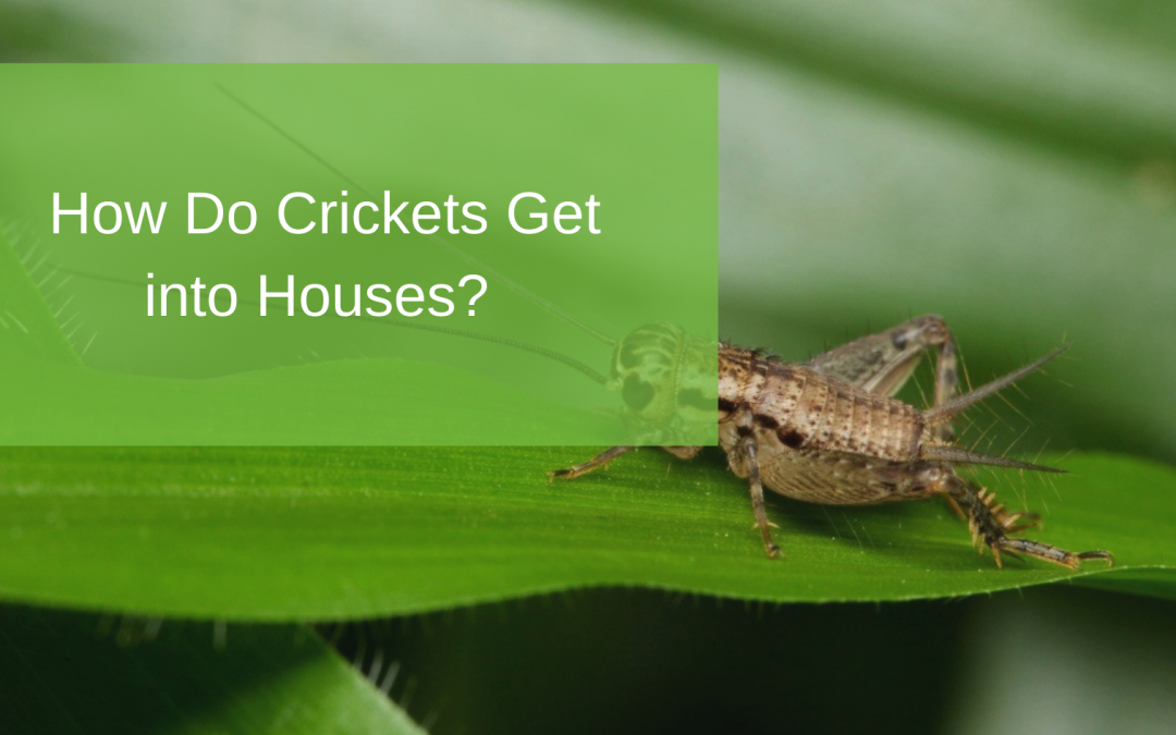 How Do Crickets Get into Houses?
